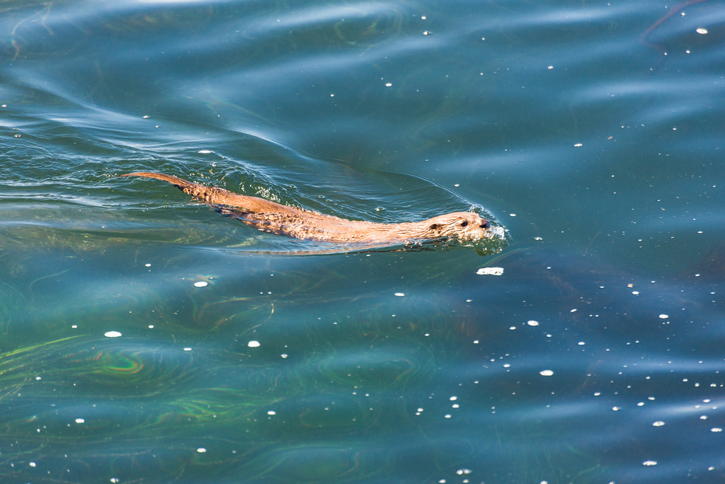 Yes this river otter is swimming in the ocean.