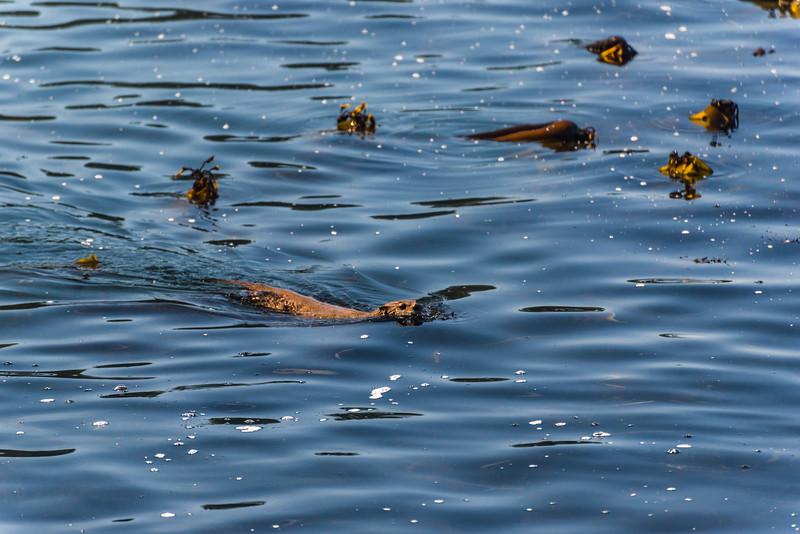 Kelp bulbs look like otter heads