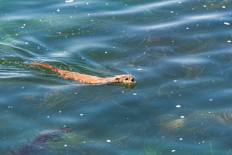 River otter and sea grass