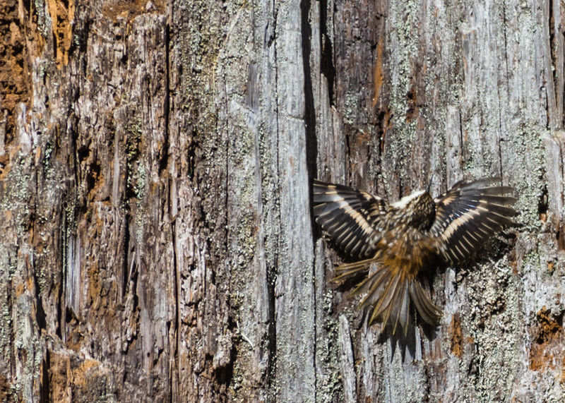 Brown Creeper - what is he doing?