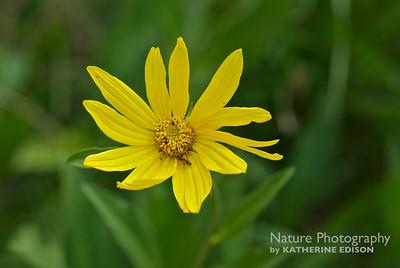 One Head Sunflower
