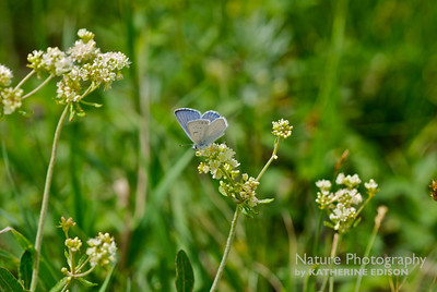 Blue Copper Butterfly