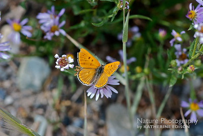 Ruddy Copper Butterfly