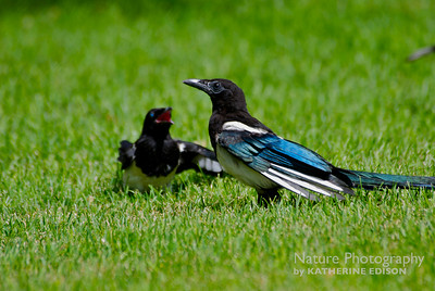 Magpie Adult and Fledgling