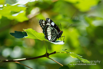 Western Admiral Butterfly