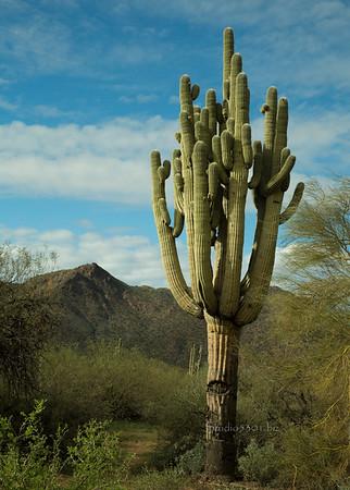 Saguaro Cactus blue sky 7216