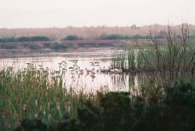 2/19/05 Snow Geese. Ag fields, ponds, Salton Sea off Garst Rd (from Sinclair Rd). Salton Sea Tour, Salton Sea International Bird Festival, Imerial County, CA