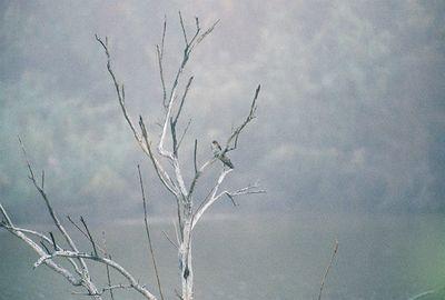 2/19/05 Peregrine Falcon. Ag fields, ponds, Salton Sea off Garst Rd (from Sinclair Rd). Salton Sea Tour, Salton Sea International Bird Festival, Imerial County, CA