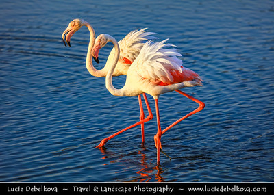 Middle East - GCC - United Arab Emirates - UAE - Dubai - Ras Al Khor Wildlife Sanctuary - Pink flamingos in pastiche of salt flats, mudflats & mangroves