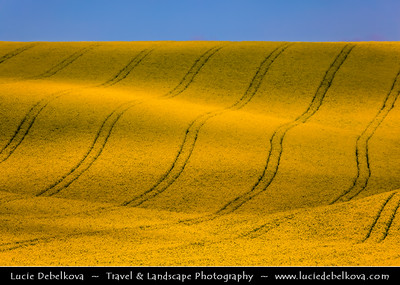 Europe - Czech Republic - Jižní Morava - South Moravia - Soft rolling hills covered with bright yellow mustard flower in full bloom during spring time
