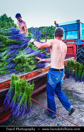 Europe - France - Provence-Alpes-Côte d'Azur Region - Vaucluse - Sault - Historical village - Lavender being prepared for shops in nearby area