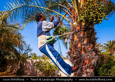 Middle East - GCC - Bahrain - Al Jasra -  Bait Al-Jasra historic house - Al Jasrah House - Traditional Bahraini way of harvesting date from the palm tree