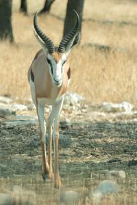 Springbok.