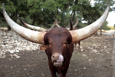 Watusi bull, Natural Bridge Wildlife Ranch, San Antonio