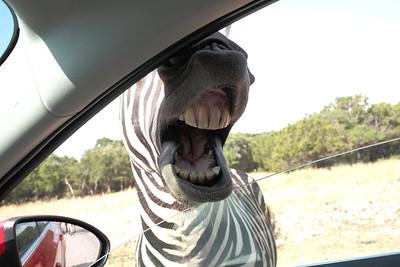 Hungry zebra.
