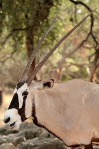 Gemsbok (oryx-antelope).