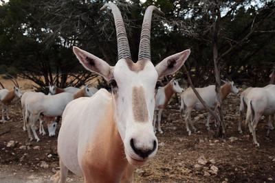 Scimitar-horned oryx.