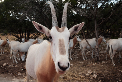 Scimitar-horned oryx, Natural Bridge Wildlife Ranch, San Antonio