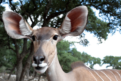 Kudu, Natural Bridge Wildlife Ranch, San Antonio.