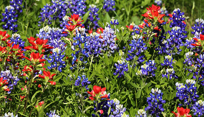 A mixture of Bluebonnets and Texas Paintrush