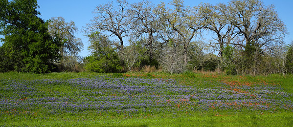 At a distance the Bluebonnets are just a blue carpet.
