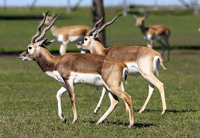 .. Pay the fee, shoot the gazelle, and own the antlers!