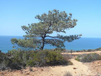 Torrey Pines  Tree 100508
