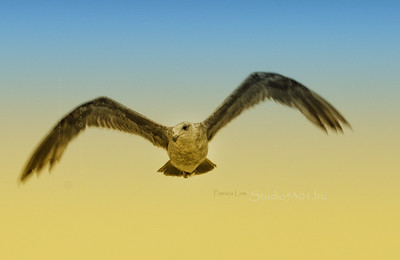 seagull flying_3745