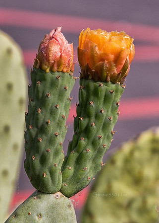cactus flowers two 3363cf DEx
