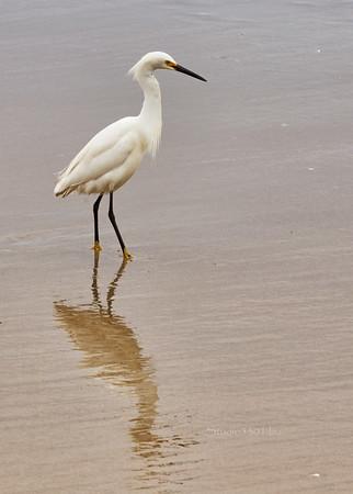Egret bird on beach  SD3881