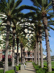 Palm trees along Harbor Drive
