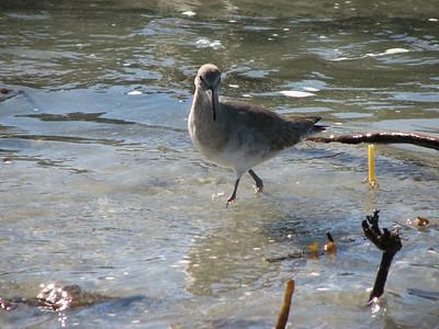Sandpiper on Coronado