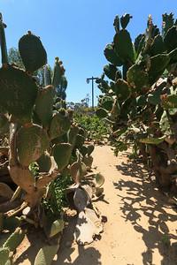Cactus Hedge