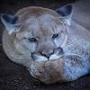 Mountain Lion sucking it's thumb at San Diego Zoo