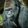 Male gorilla at San Diego Zoo