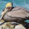 Female brown pelican