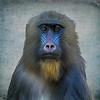 Female Mandrill at San Diego Zoo