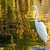 Egret at Balboa Park