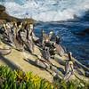 Brown pelicans are abundant in La Jolla