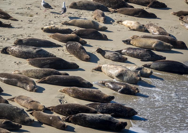 Sea lions take over beach in La Jolla