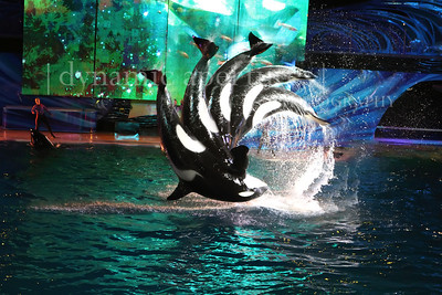 SeaWorld, San Diego, CA - Shamu Action Sequence