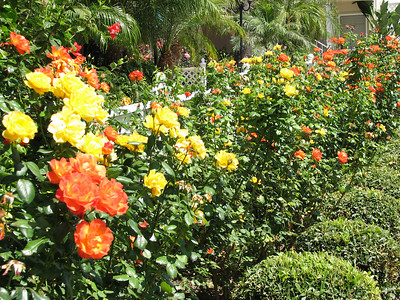 Town and Country Resort Hotel - thousands of roses