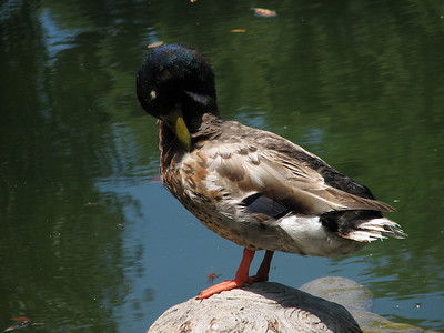 Seaport Village - San Diego. Duck in pond.