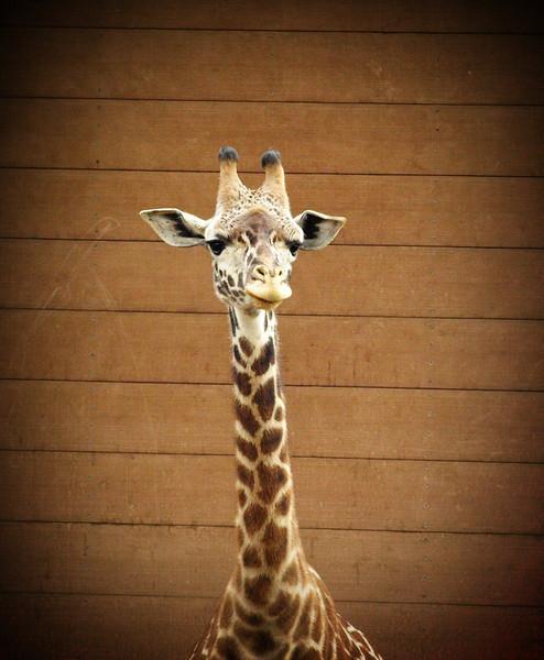 Happy Giraffe - San Diego Zoo  Order Code: A9