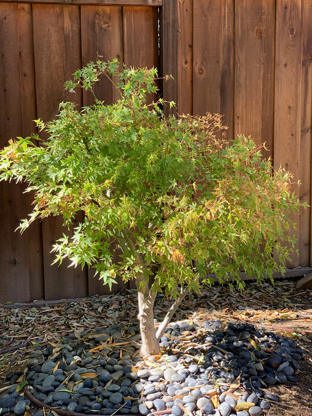 Bonsai Maple Tree