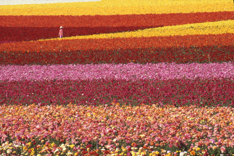 Colorful flower fields in Carlsbad, close to San Diego, California.