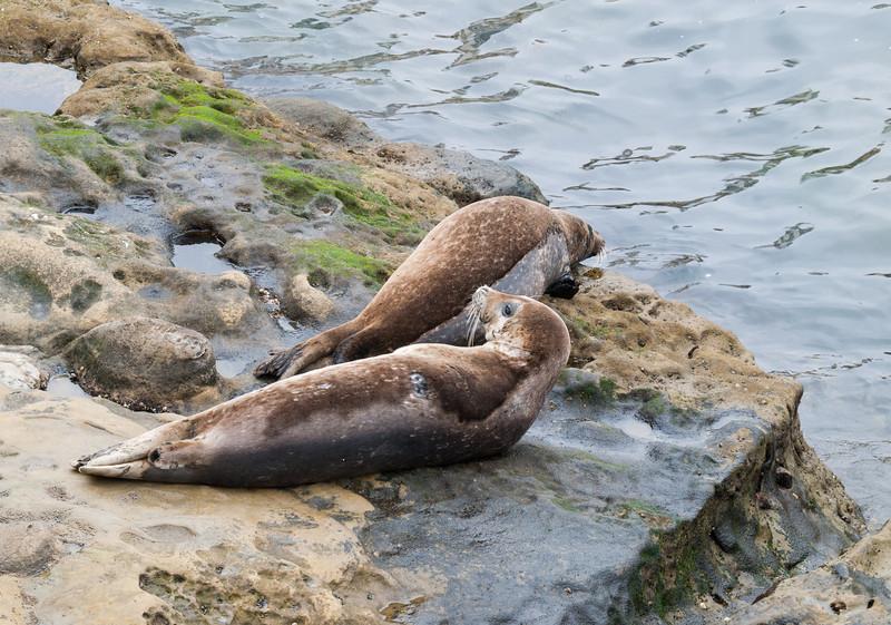Harbor Seals, La Jolla