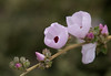 Chaparral Mallow (Malacothamnus fasciculatus) -- Point Loma
