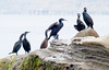 Cormorants, La Jolla