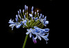 "Agapanthus (""Lily of the Nile"") June 2010"